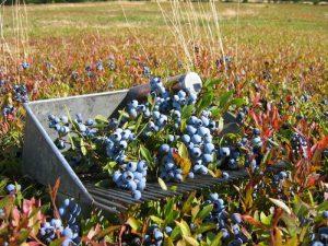 Wild Blueberry Health Benefits