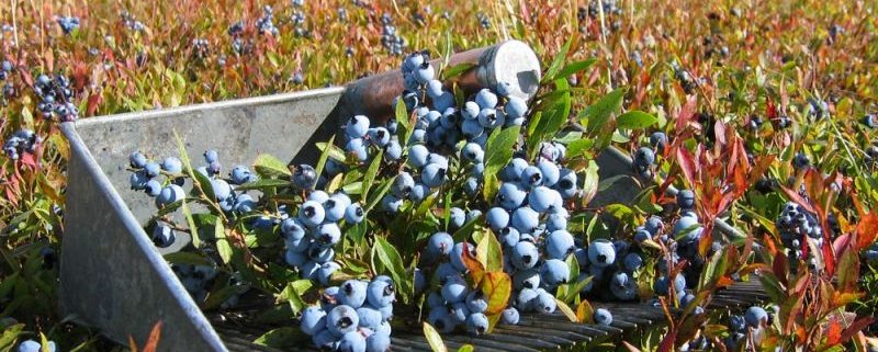 Wild Blueberry Health Benefits